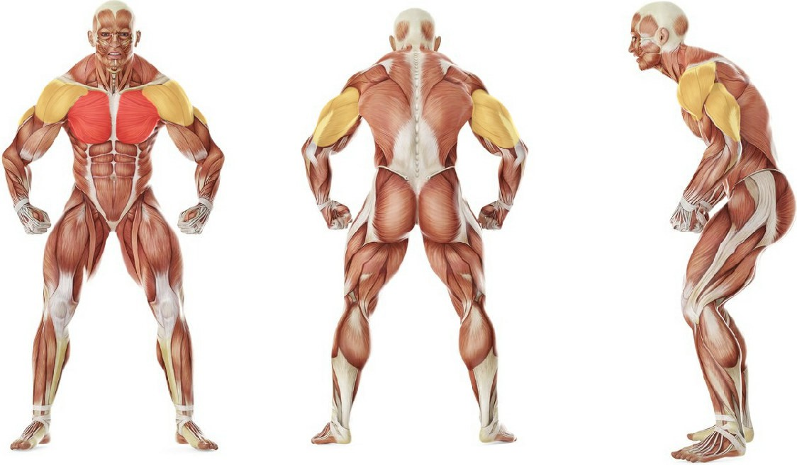 What muscles work in the exercise Barbell Incline Bench Press Medium-Grip